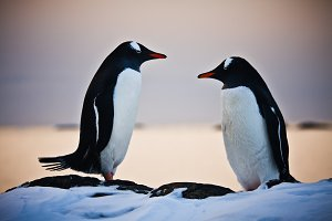 Two penguins talking