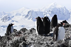 penguins on rock