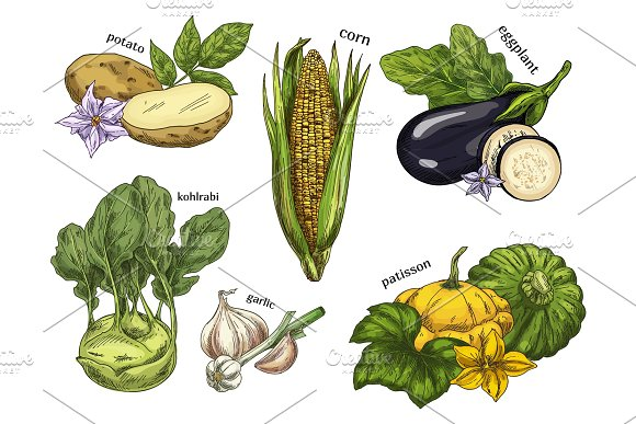 Sketch of corn and potato, kohlrabi and eggplant in Illustrations