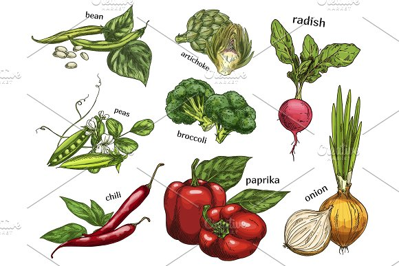 Sketch of artichoke and chilli pepper, peas, beans in Illustrations