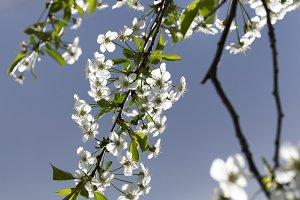 orchard cherry