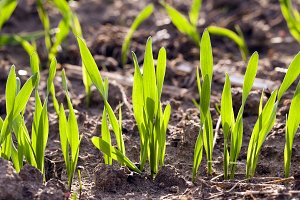 wheat germ ,  field