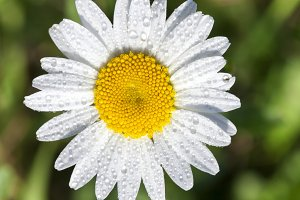 white daisy flowers, close up