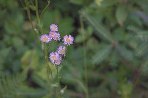Purple Aster Wildflowers
