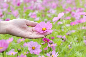Girl hand is touching cosmos flower