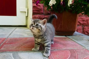 a little British breed kitten