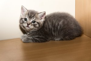 a little British breed kitten