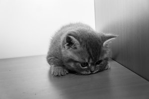 The British kitten