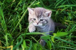 A little British kitten sits in the green grass
