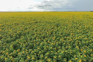 Field of sunflowers. Top view.