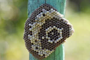 Wasp nest attached to a wooden board.