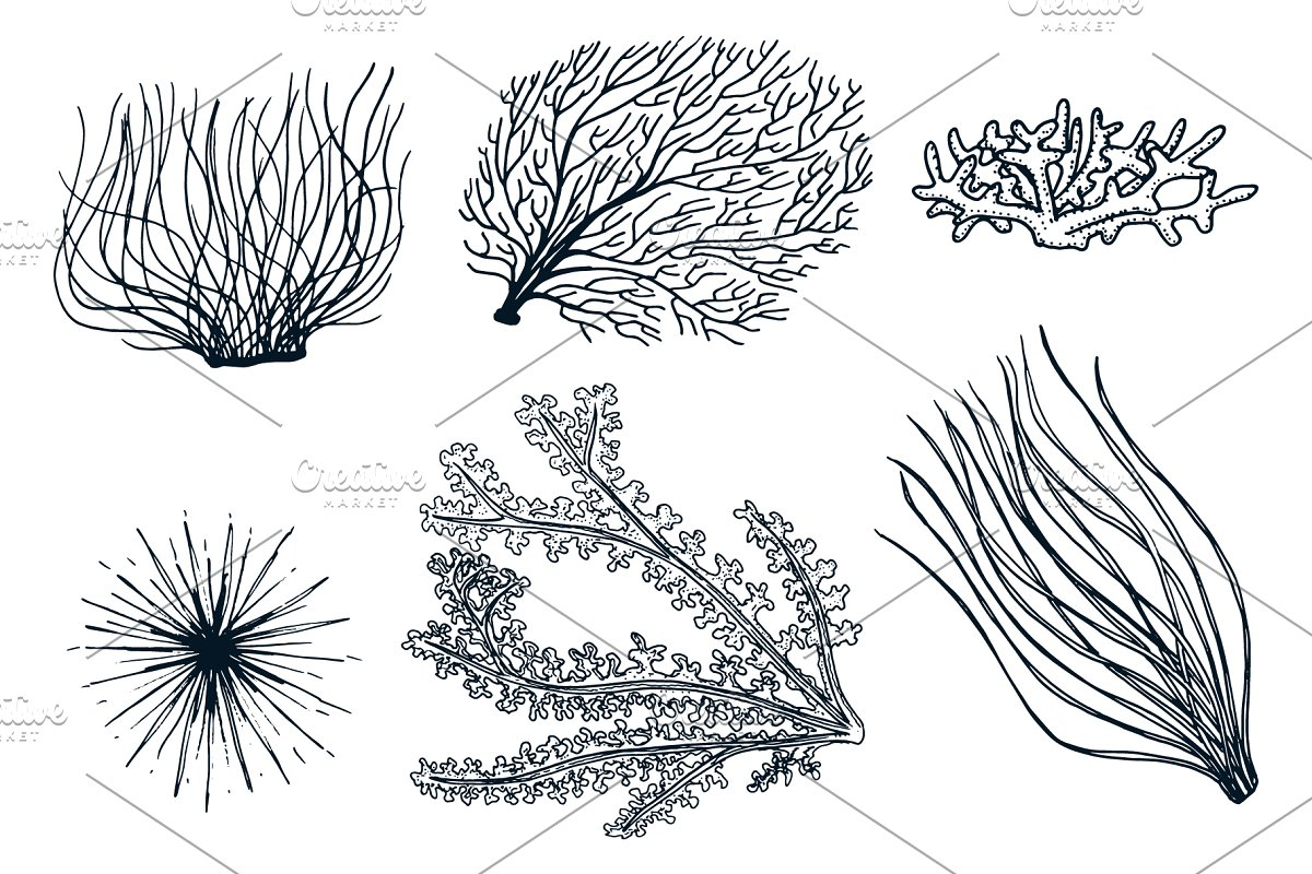 Marine Plants Seaweed. Sea Life. in Illustrations - product preview 1