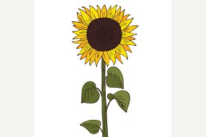 Isolate helianthus or sunflower