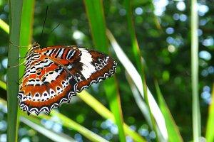 Leopard Lacewings butterfly