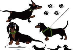 funny Shorthair dachshund