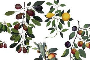 Vintage Fruit and Vines PNG Images