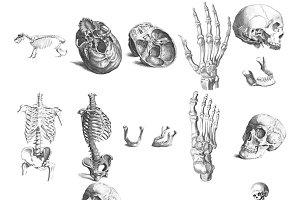 Human & Animal Bones Digital Images
