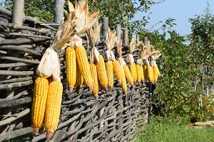 Hanging ears of yellow corn
