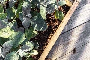Sage plants