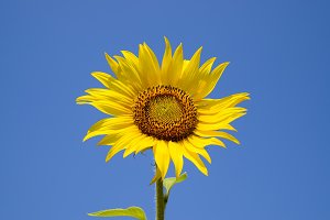 A blossoming sunflower against a blue sky and sun.