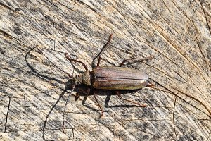 Beetle bark beetle. Imago of an insect. Beetle with long antennae.