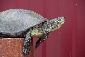 Tortoise on a wooden red stump. Ordinary river tortoise of temperate latitudes. The tortoise is an ancient reptile.