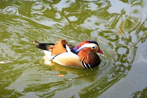 Mandarin duck goose waterfowl animal