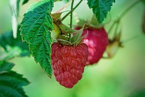 Raspberry in the fruit garden