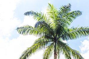 Tropic tree palm leaves