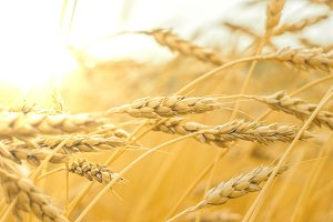 Golden wheat in the field