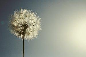 simple vintage dandelion