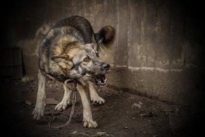 the guard dog barks