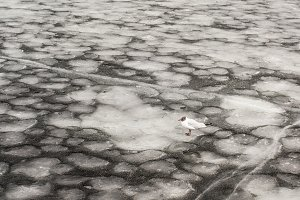 Seagull sitting on an ice floe in the Onego lake
