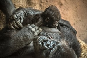 Gorilla breastfeeding its baby