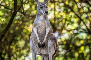 Common wallaroo