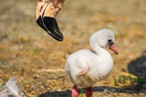 Baby bird of the American flamingo