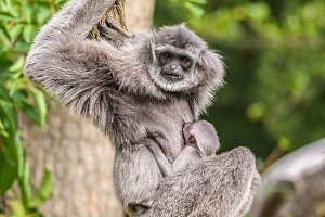 Silvery gibbon with a newborn