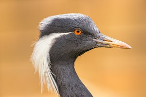 Portrait of  demoiselle crane