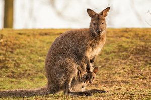 Kangaroo Mother with a Baby