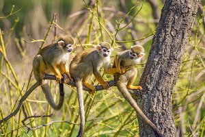Common squirrel monkeys on a tree branch