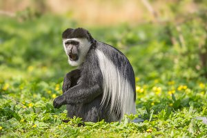 Mantled guereza also know as the black-and-white colobus monkey