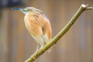 Portrait of  squacco heron