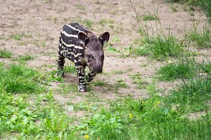 Baby of the endangered South American tapir