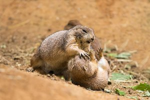 Adult prairie dogs fighting
