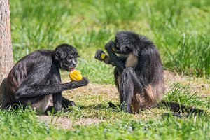 Spider monkeys enjoying a meal