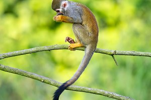 Portrait of common squirrel monkeys