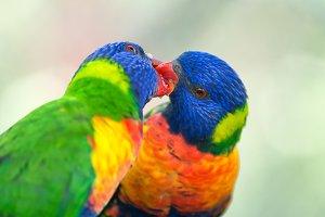 Two rainbow lorikeets exchanging food