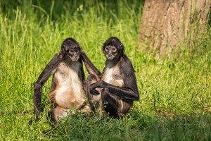 Geoffroy's spider monkeys