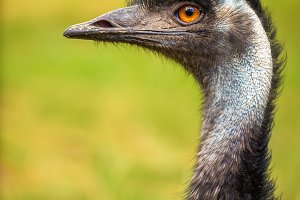 Profile portrait of Australian Emu