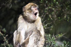 Barbary macaque yawn